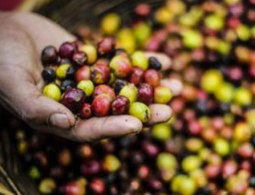 Produtores de café esperam queda na produção em Marilândia, ES